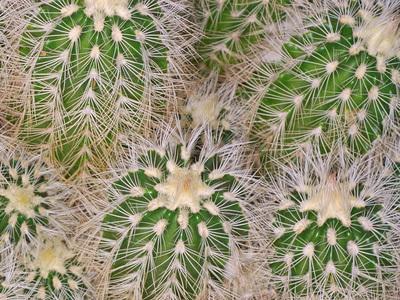 Dantella kaktus Echinocereus reichenbachii