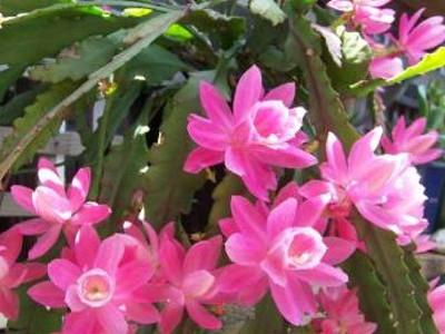 Orkide cacti Epiphyllum hybrids