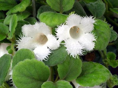 Parpailak-lore mahats Episcia dianthiflora