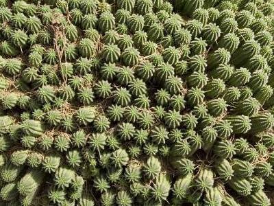 Corncob cactus Euphorbia mammillaris