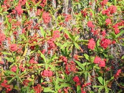 クラウン·オブ·イバラ Euphorbia milii splendens