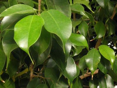 wie zu wachsen birkenfeige ficus benjamina pflege birkenfeige pflanzenzucht bedingungen. Black Bedroom Furniture Sets. Home Design Ideas