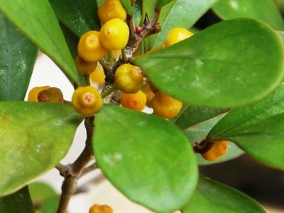 Mistletoe ficus F. deltoidea