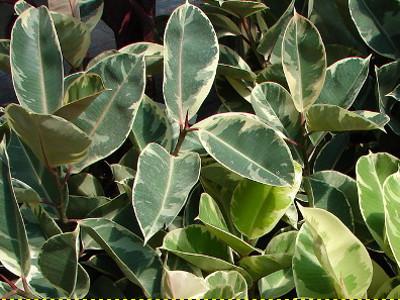 Dru kauçuku Ficus elastica 'Decora'