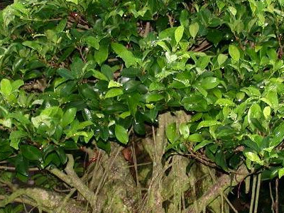 Kubako laurel Ficus retusa