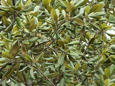 Fig sustraiak Ficus sagittata