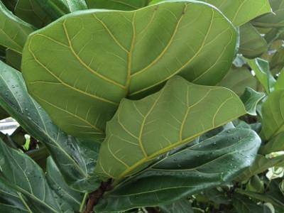 Kerdil biola-daun ara Ficus willdemaniana
