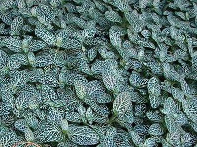 Zilarrezko-nerved fittonia Fittonia verschaffeltii argyroneura
