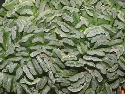 Dritare clipped Haworthia truncata