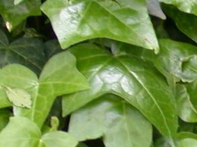 English Ivy Hedera helix