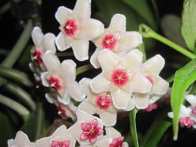 Argizaria Hoya carnosa 'Variegata'
