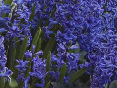 Hyacinth Hy. orientalis