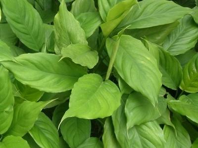 Txinatarra hosto iraunkorreko        - Aglaonema modestum