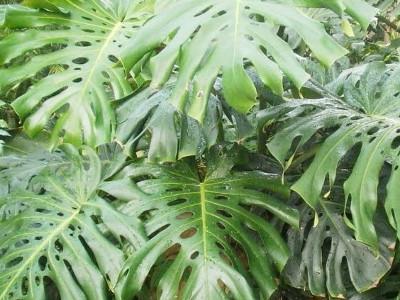 Pertusum Philodendron Monstera deliciosa