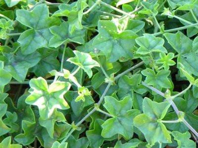 Ivy geranioa Pelargoniium peltatum