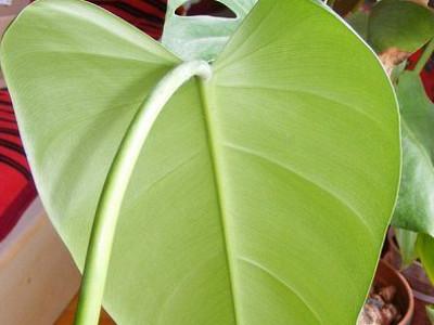 Esmeralda erregina Philodendron
