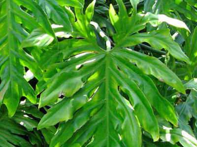 Florida Philodendron
