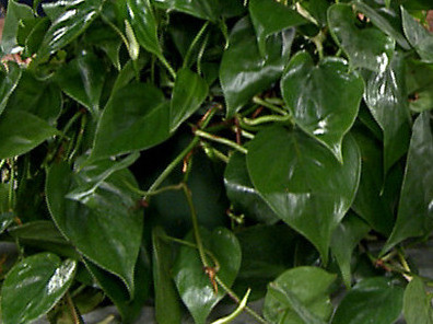 Heart-Leaf Philodendron P. scandens oxycardium