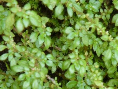Meriam Pilea microphylla