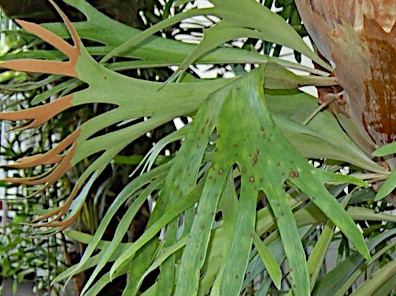 Staghorn fier        - Platycerium bifurcatum