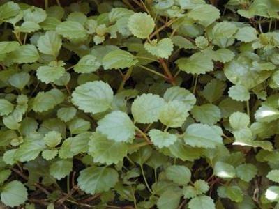 Suediako Ivy Plectranthus australis