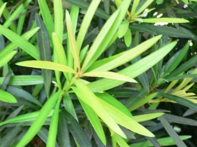 Podocarpus Podocarpus macrophyllus