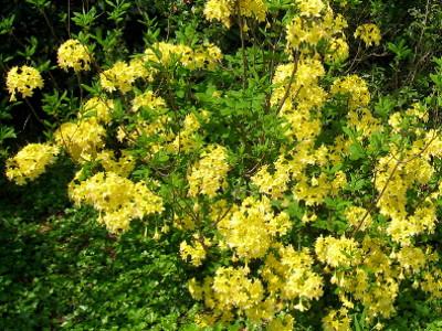 Azaleas Rhododendron hybrids