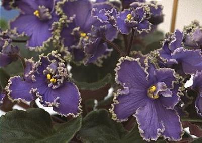 Violets afrikane Saintpaulia hybrids