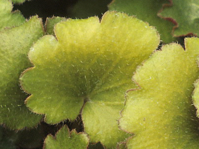 草莓天竺葵 Saxifraga stolonifera