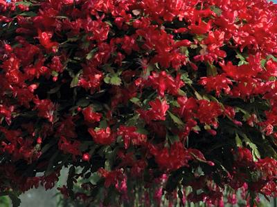 Kersfees kaktus Schlumbergera bridgesii