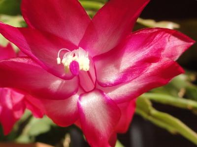 Christmas Cactus Schlumbergera truncata