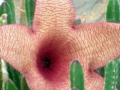 Carrion lorea Stapelia nobilis
