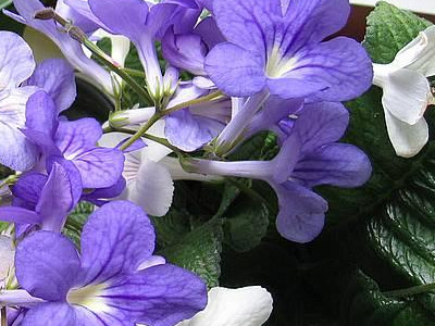 Aguliçe kep Streptocarpus x hybridus