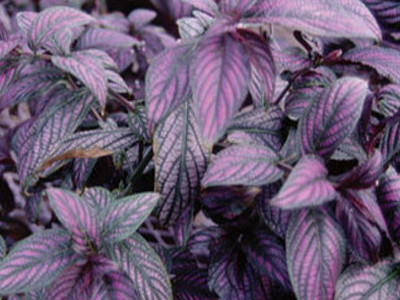 Persian skjold Strobilanthes dyeranum