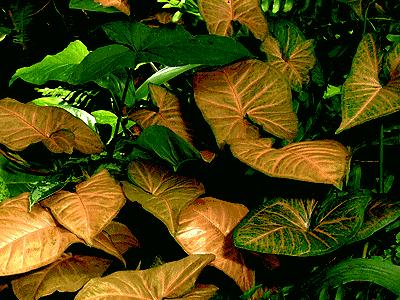 Nephthytis Syngonium podophyllum