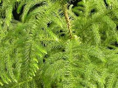 Востраў Норфолк хвоя Araucaria heterophylla