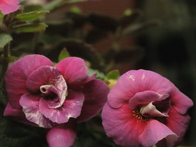 Magic Flower Achimenes hybrids