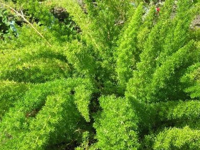 PLUME zainzuriak Asp. densiflorus 'Myers'