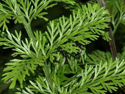 Mother Fern Asplenium daucifolium