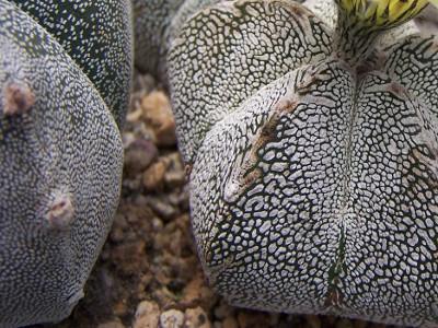 Kapak peshkopit Astrophytum myriostigma