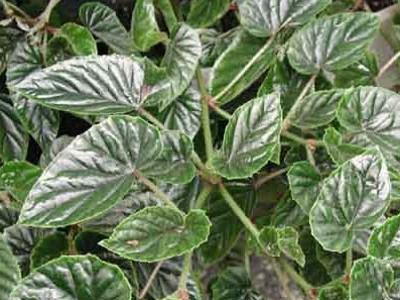Metalike fletë Begonia Beg. metallica
