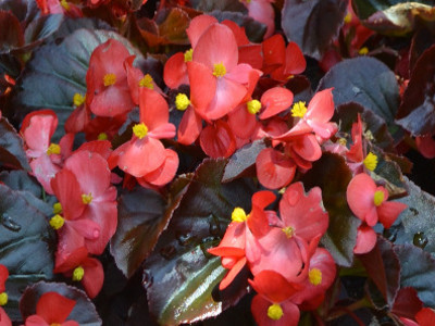 Wax Begonia        	- Beg. semperflorens