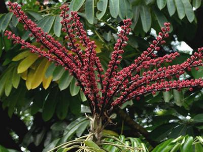 Schefflera Brassaia actinophylla