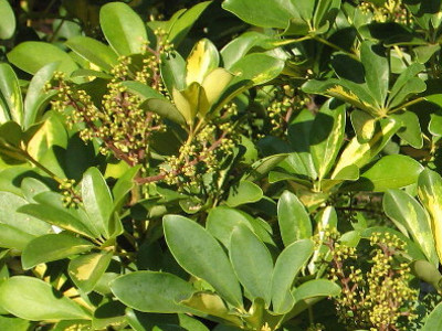 Dwarf Schefflera Brassaia arboricola