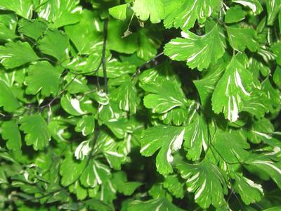 Maidenhair Adiantum raddianum