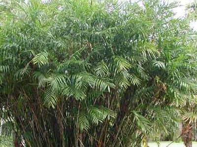 Banbu palma Chamaedorea erumpens
