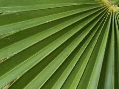 ஐரோப்பிய விசிறி பனை Chamaerops humilis