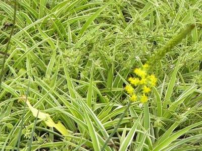 Merimangë larmishme Chlorophytum comosum 'Variegatum'