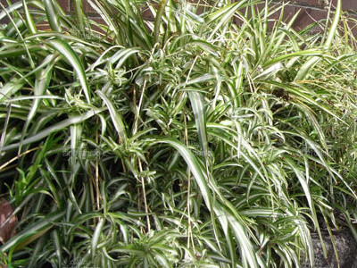 Labah-labah tumbuhan        - Chlorophytum comosum 'Vittatum'