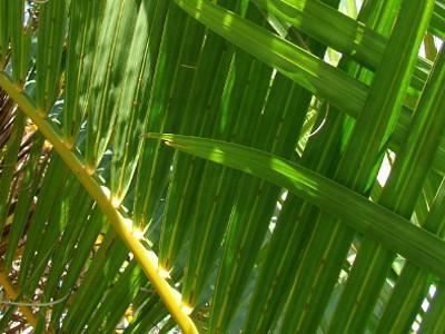Areca palme Chrysalidocarpus lutescens